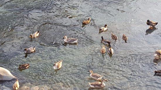 Three Rivers, CA: Ducks for calm environment