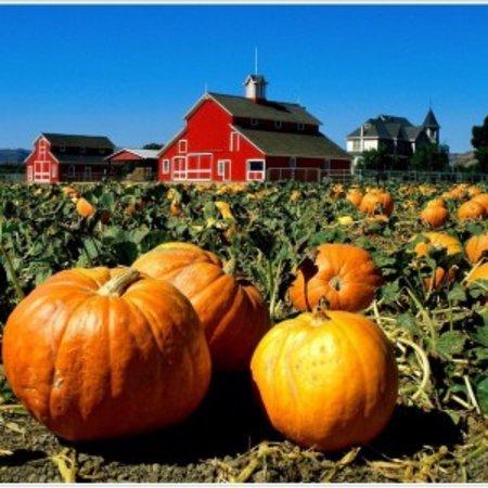 Wheatland, แคลิฟอร์เนีย: Pumpkin Patch