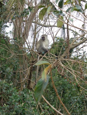 St Lucia, Südafrika: mono vervet
