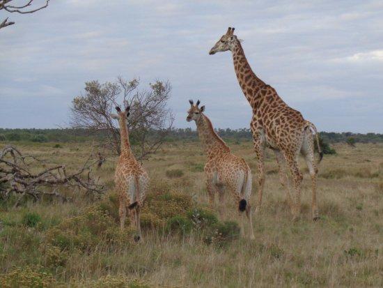 St Lucia, Südafrika: jirafa hembra y sus crias.