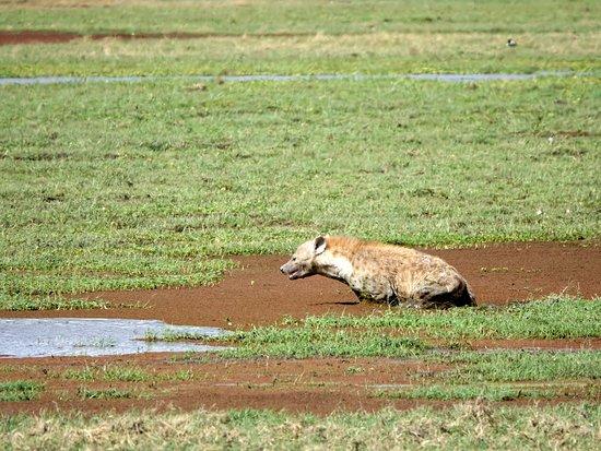 Amboseli National Park, Kenya: hyène dans le marais