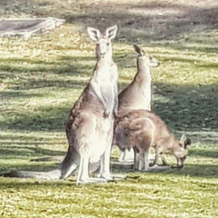 Hope Island, Australië: kangaroo family enjoy an evening meal on the grass