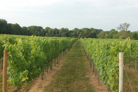 Colts Neck, NJ: Young summer vines 2017