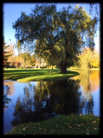Perth, Canada: Morning Willow Tree in Stewart Park.