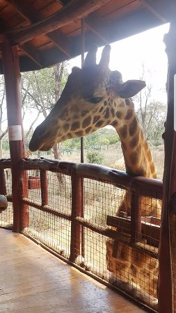 Giraffe Centre: I really tried to kiss this one...TRIED being the operative word!