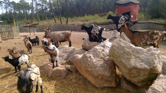 Vila Nova de Santo Andre, โปรตุเกส: As cabras anãs e os seus grunhidos inconfundíveis