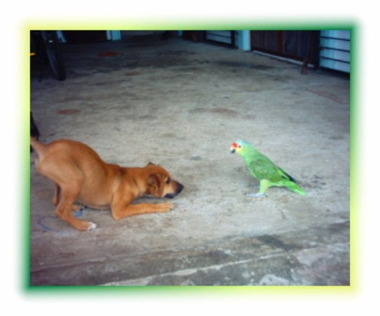 Punta Gorda, Belice: You never know who may drop in - a Red Headed Parrot playing with one of our dogs*