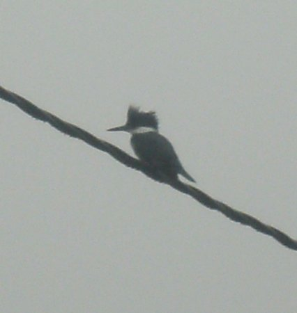 Punta Gorda, Belize: This Kingfisher took refuge on the wire outside the restaurant to survey the bay*
