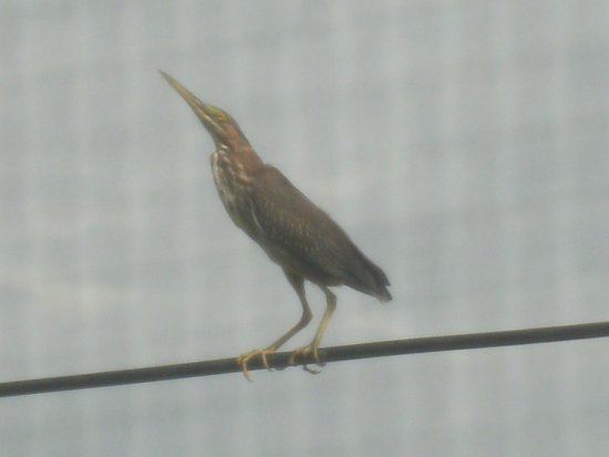 Punta Gorda, Belice: Even the sea birds frequently roost on the wire - but not sure who's watching who?*