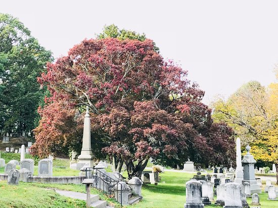 Mount Hope Cemetery : Ellwanger & Barry-donated Japanese Maple at Mt. Hope (planted circa 1838-1840)