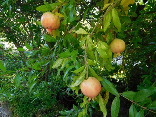 Floure, France: pomegranate trees in the garden