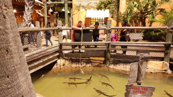 Congo River Golf: Feeding the gators!!