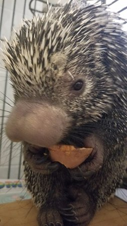 Ridgeway, VA: Stiletto the South American Pre-Hensile Tailed Porcupine!