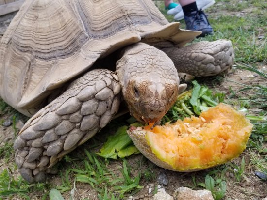 Ridgeway, Вирджиния: Sulcata tortoise chowing down on a cantalope!