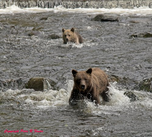 Glendale Cove, Canada: Bears fishing for salmon