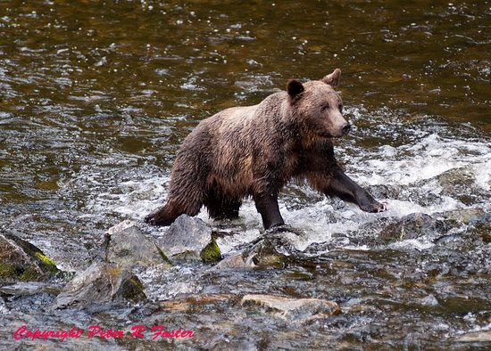 Glendale Cove, Canadá: bears fishing for salmon
