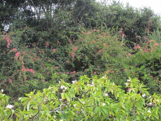 Delicieux Koko Crater Botanical Garden: 自然のままのブーゲンビリア