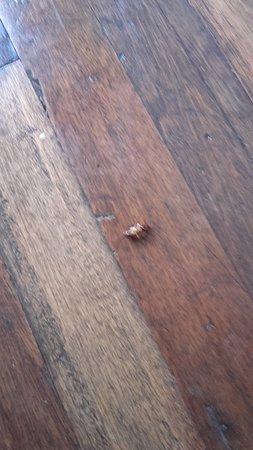 Malate Pensionne: cucaracha cockroach