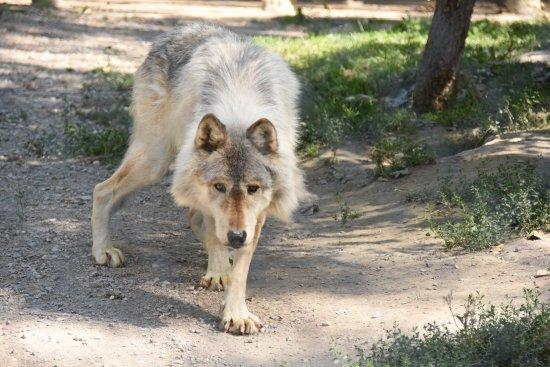 Goleen, Canadá: loup