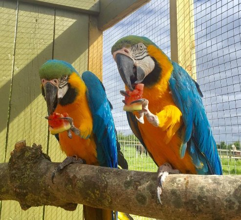 Chew Valley Animal Park: MACAW PARROTS