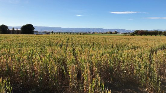 Dixon, CA: Corn field