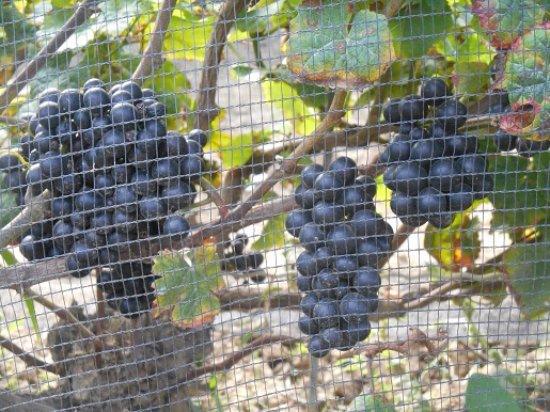 Milford, Kanada: Exultet Estates Pinot Noir