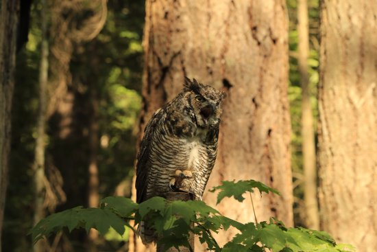 North Vancouver, Canadá: Angry owl. Isn't it cute?