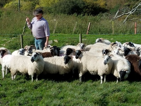 Kissane Sheep Farm: The wrangler and his sheep who are about to put on a show.