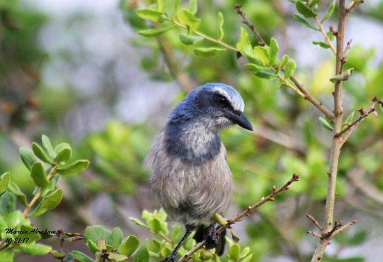 ฟอร์ตเพียร์ซ, ฟลอริด้า: Florida scrub jay - Indrio Savannahs preserve 10-21-17