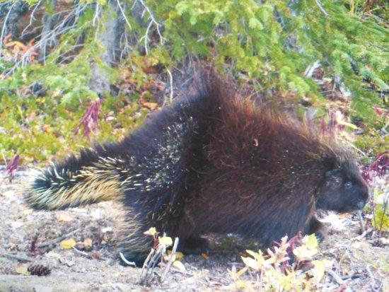 Kluane National Park and Reserve: porcupine