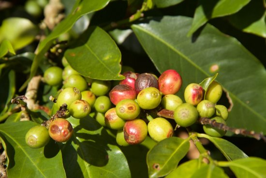 Ubaque, Kolumbien: some of the coffee growing here