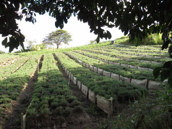 Ubaque, Colombia: thyme crops
