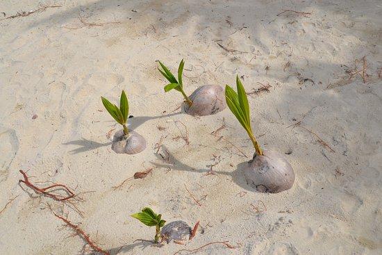 Kai Bae Beach: ростки пальм