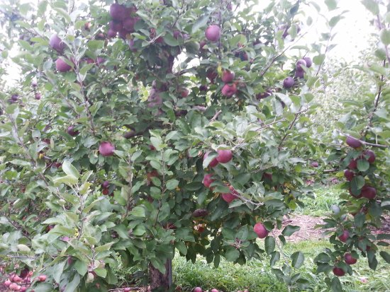 Altamont, NY: apple laden trees in the farm