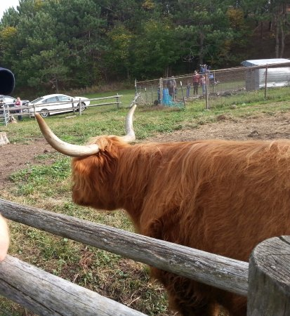 Altamont, NY: Closer look at Scottish cattle