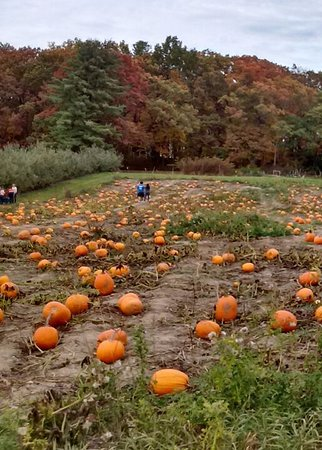 Altamont, NY: Pumpkins being inspected in the pumpkin patch