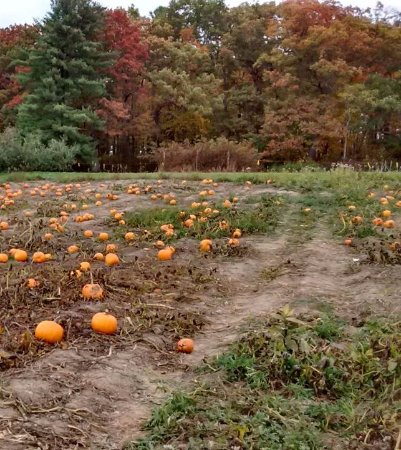 Altamont, NY: View of the pumpkin patch in the farm