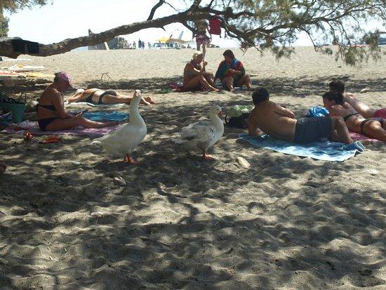 Preveli Beach: Na plaży turyści, ... dzikie gęsi