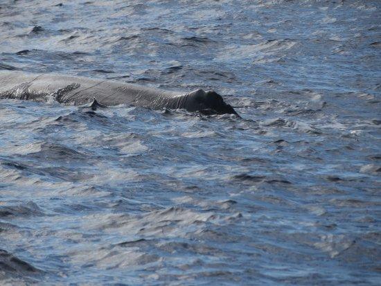 Hval og Dolphin Watching på Kanariøyene: Sperm whale