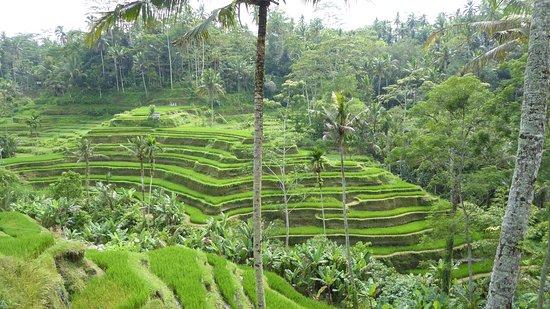 Tegalalang Rice Terrace: photo1.jpg