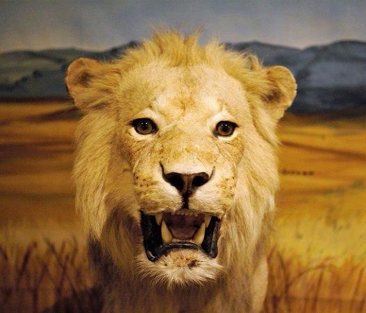 Ralph Foster Museum: Lion