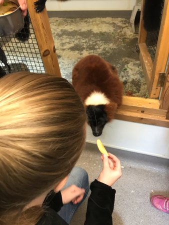 Linton, UK : Feeding apple to a Red Ruffed Lemur!