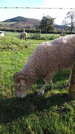 Great Ayton, UK: Really friendly sheep
