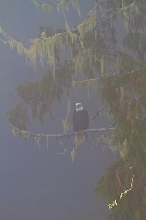 Port McNeill, Kanada: Bald eagle in Great Bear Rainforest