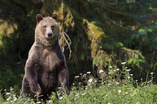 Port McNeill, Canada: Grizzly bear standing up