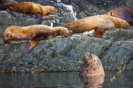 Port McNeill, Kanada: Stellers Sea Lions
