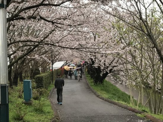 Funabashi, Japón: The cherry blossom arcade of Ebigawa (Ebi River)