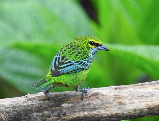 San Luis, Costa Rica: Speckled Tanager