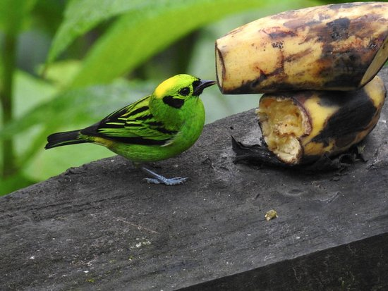 San Luis, Κόστα Ρίκα: Emerald Tanager