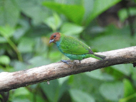 San Luis, Κόστα Ρίκα: Bay-headed Tanager